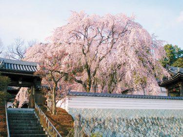 【津山市】「昨年折れた千光寺のしだれ桜が見事に復活の返り咲きです。」